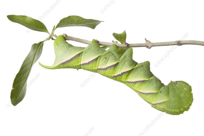 Caterpillar larva of Rustic sphinx moth