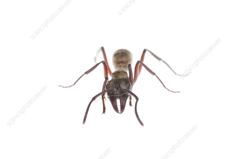 Hairy panther ant