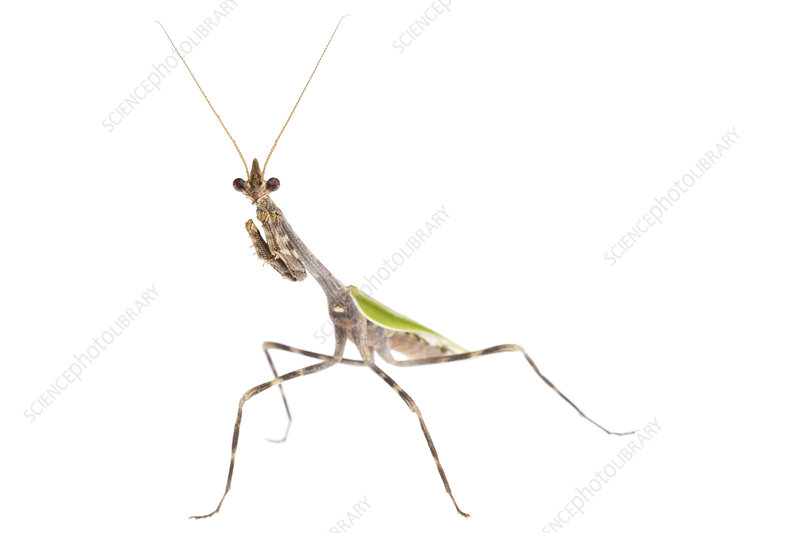Mexican unicorn mantis