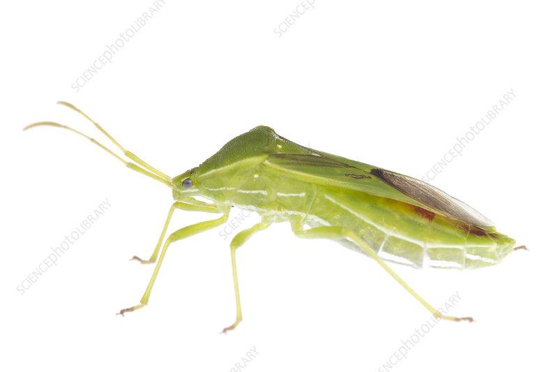 Green squash bug