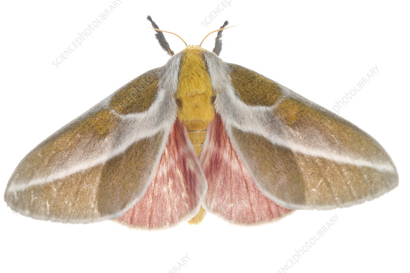 Royal moth