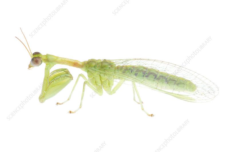 Green mantisfly
