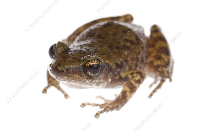 Rio Grande Chirping Frog