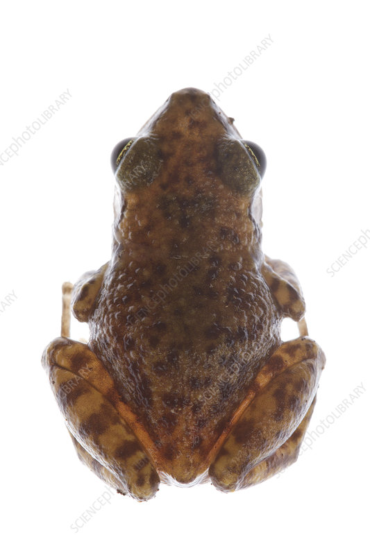 Rio Grande Chirping Frog dorsal view