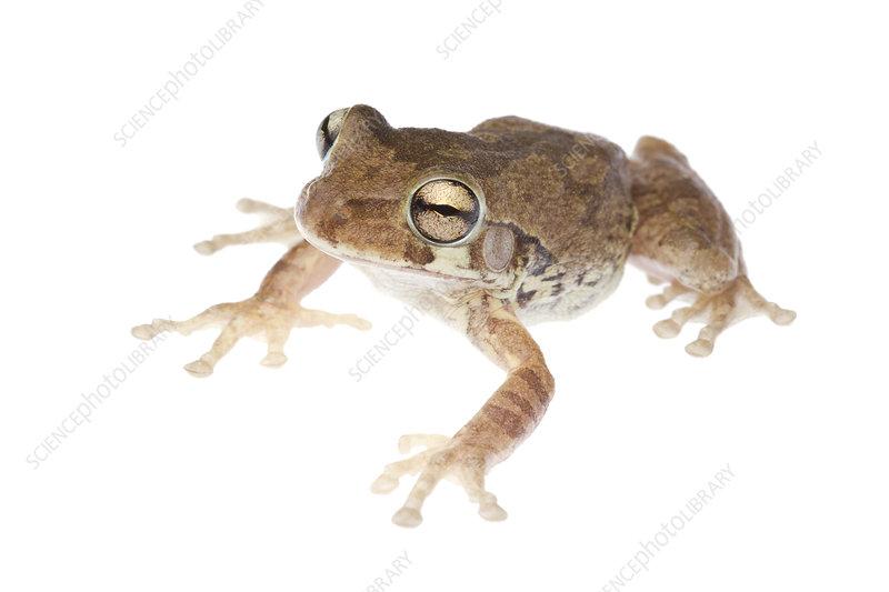 Mexican Treefrog