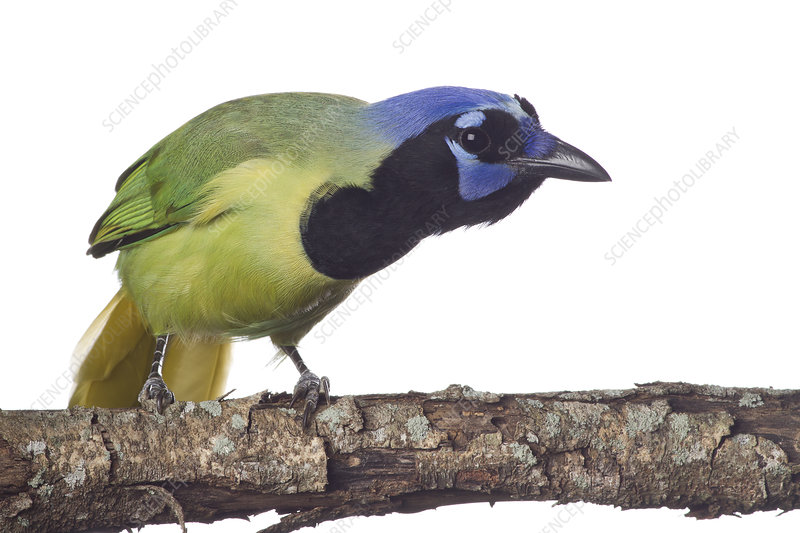 Green Jay perched, looking curious