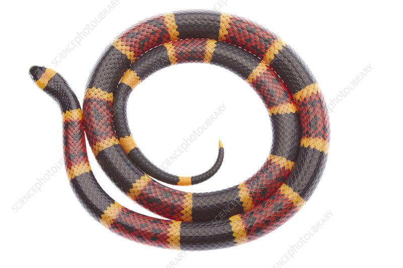 Texas Coral Snake coiled