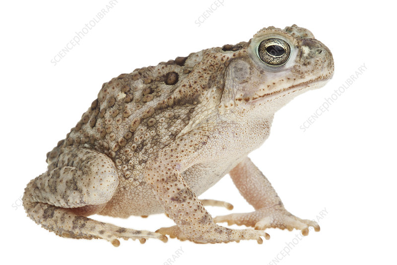 Marine toad Lower Rio Grande Valley, Texas, USA