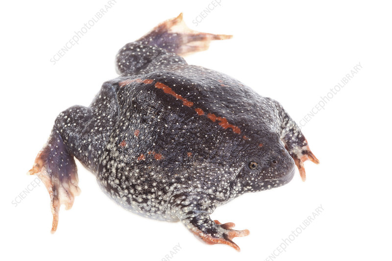 Mexican Burrowing Toad dorsal view