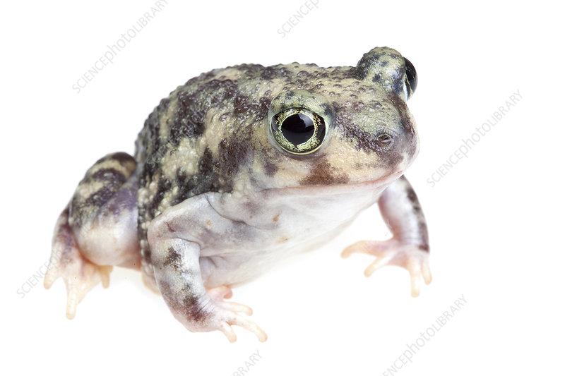 Mexican Burrowing Toad, Rio Grande Valley, Texas, USA
