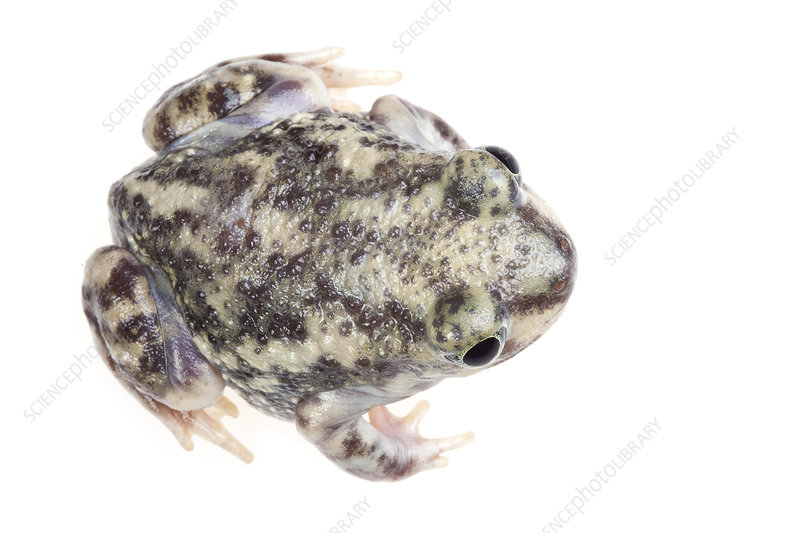 Couch's Spadefoot toad dorsal view