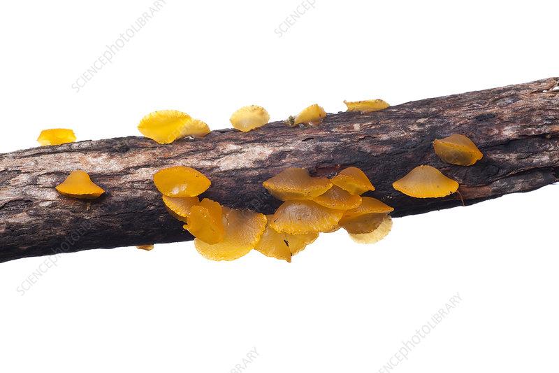 Golden Jelly Bells fungus on dead log, Victoria, Australia