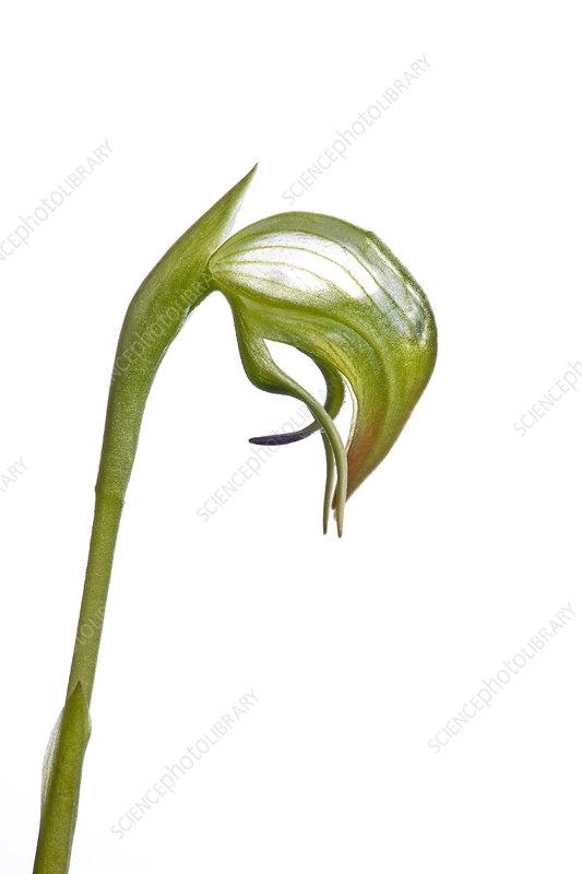Nodding greenhood orchid (Pterostylis nutans)