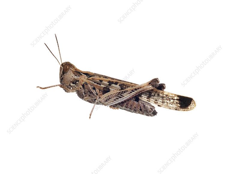 Australian Plague locust Victoria, Australia