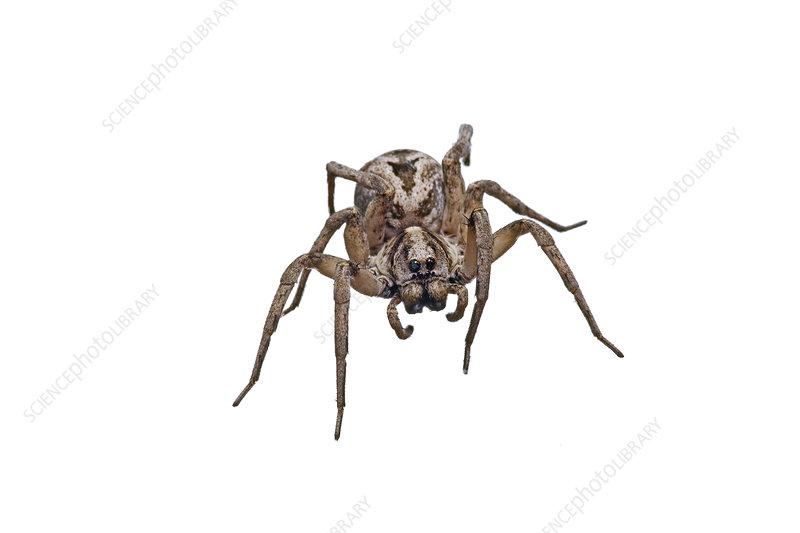 Wolf Spider Victoria, Australia