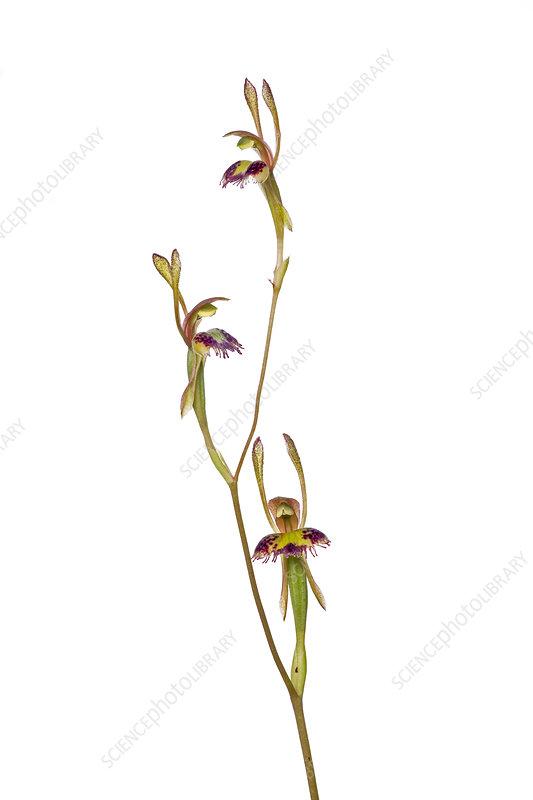 Fringed Hare Orchid (Leporella fimbriata)