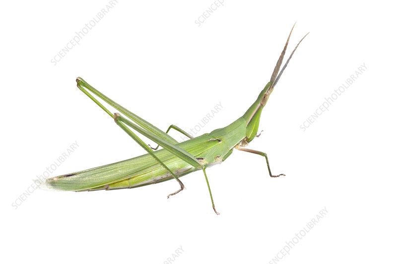 Slant faced grasshopper Victoria, Australia