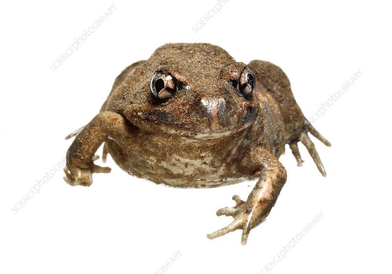 Eastern Banjo frog Victoria, Australia