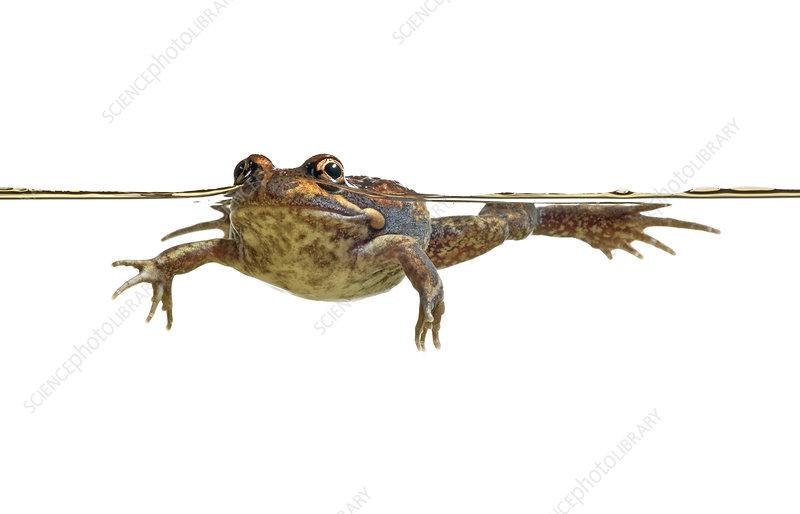 Eastern Banjo frog in water, Victoria, Australia