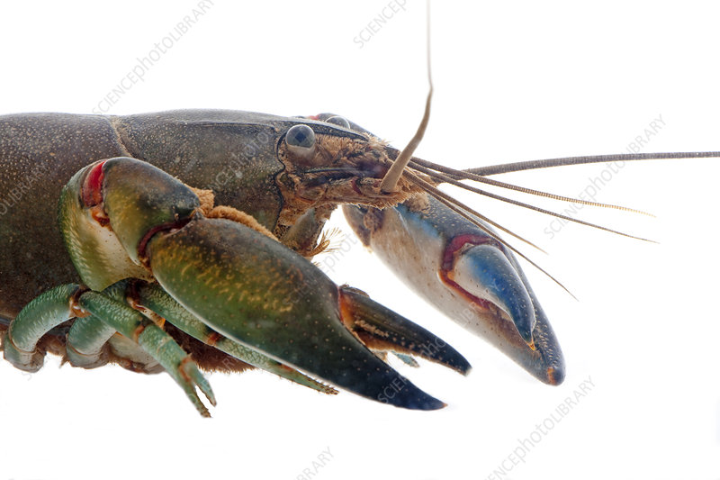 Common Yabby close up underwater of head and claws