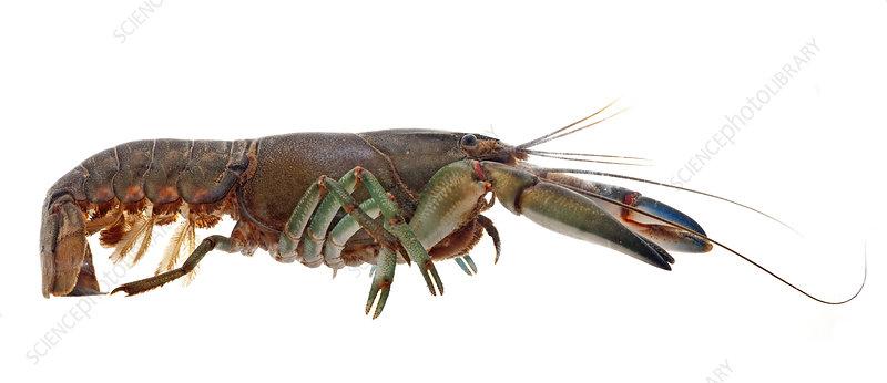 Common Yabby crayfish underwater, Victoria, Australia