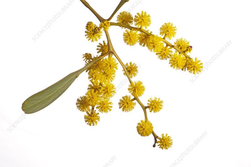 Golden Wattle (Acacia pycnantha) close up in flower,