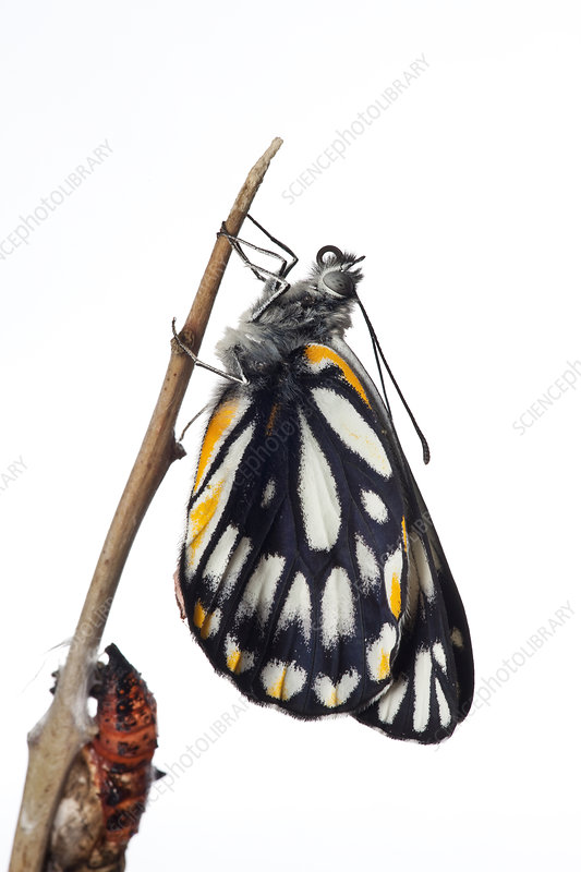 Caper White Butterfly adult recently emerged from chrysalis