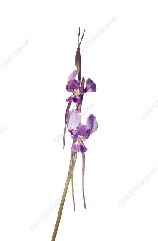Purple Diuris (Diuris punctata) in flower