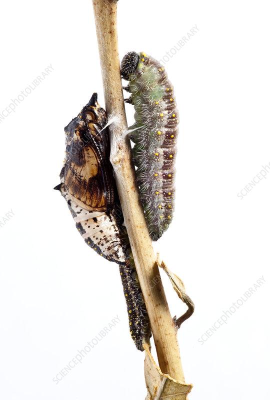 Caper White caterpillar pupating caterpillar and pupae