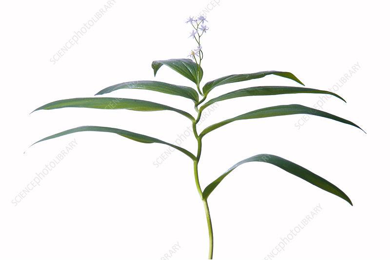 Slim Solomon's Seal (Smilicine stellata) flower and leaves