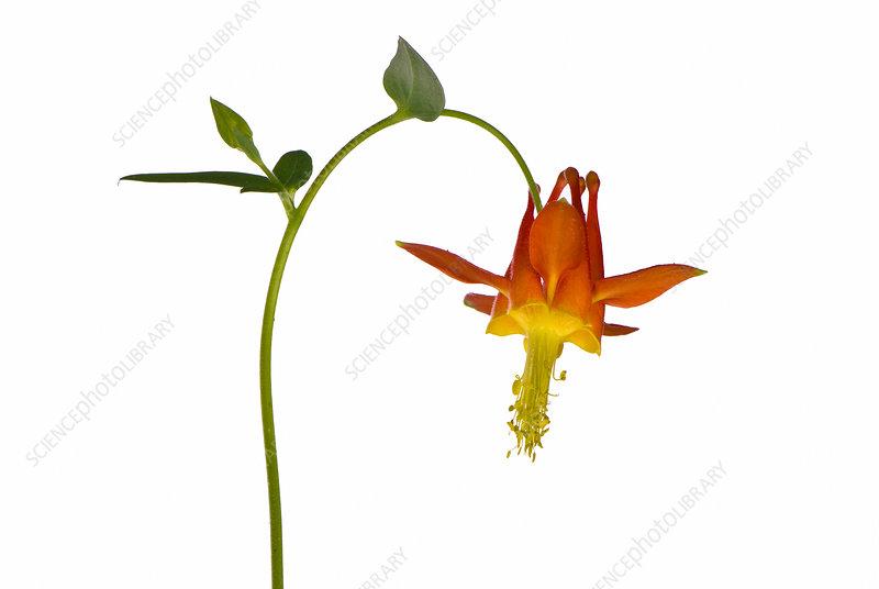 Crimson Columbine (Aquilegia formosa) flowers