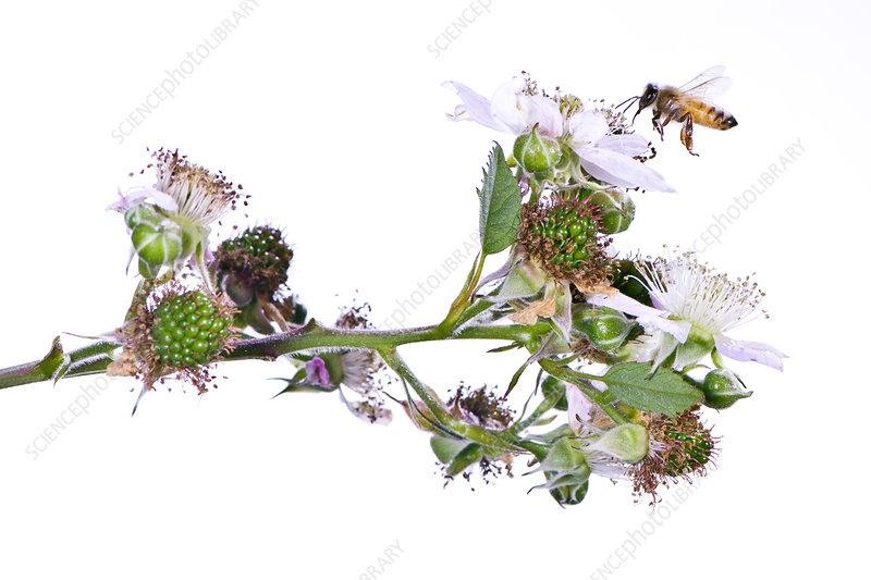 Honey bee flying to Blackberry bush flowers