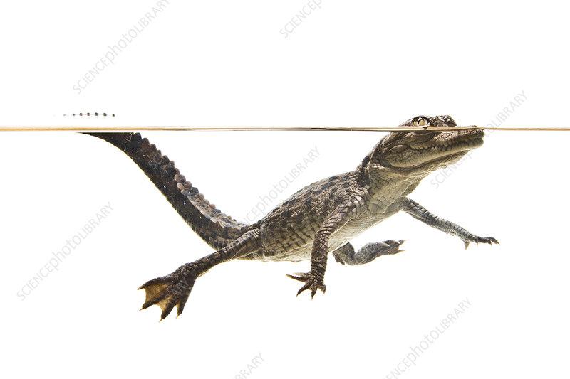 American crocodile juvenile swimming