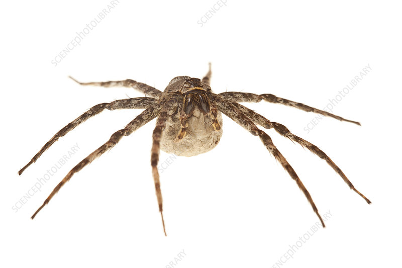 Fishing spider female with egg sac