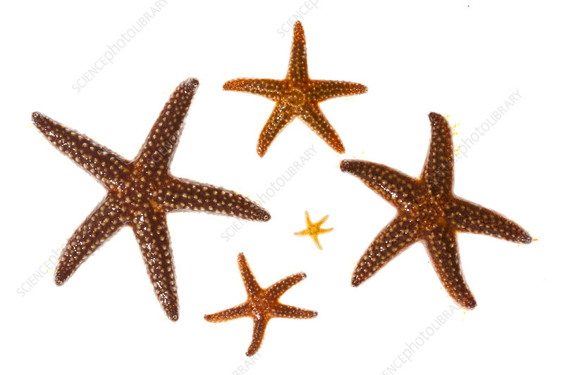 Small spine sea stars in various stages of growth