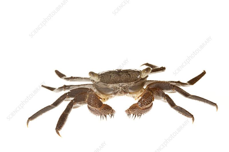 Mangrove red crab Everglades NP, Florida, USA