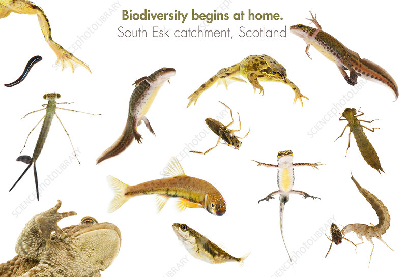 Fish, amphibians and aquatic insects found in, UK