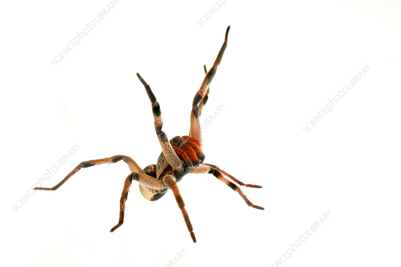 Wolf spider defensive behaviour