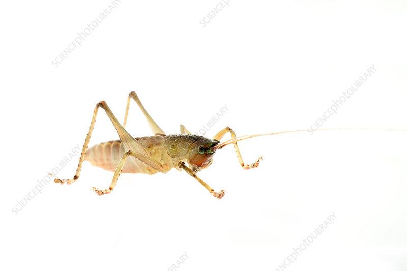 Omnivorous katydid nymph