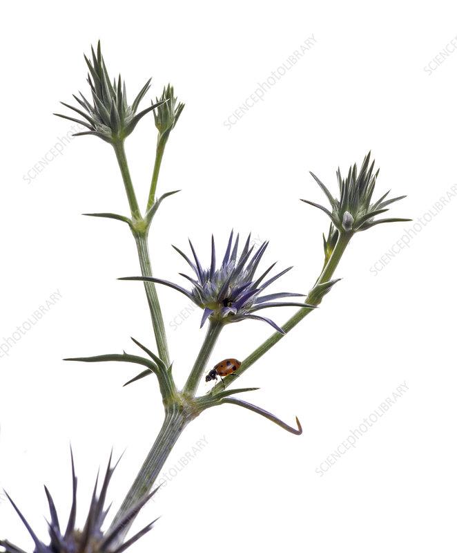Blue devil (Eryngium ovinum) with Ladybird