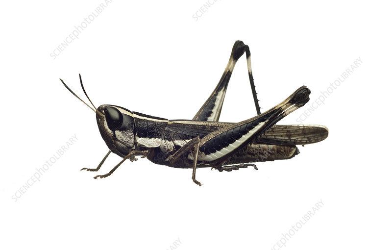 Common macrotona grasshopper Wimmera, Victoria, Australia