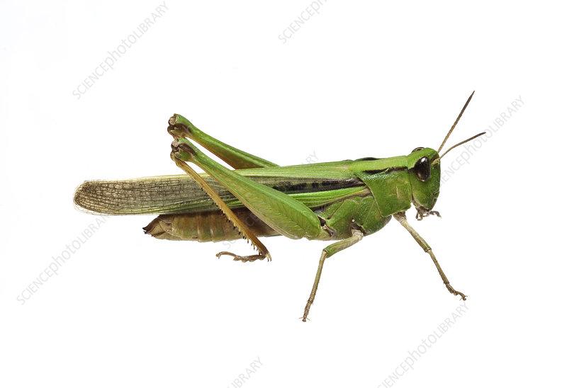 The Disappearing Grasshopper Wimmera, Victoria, Australia