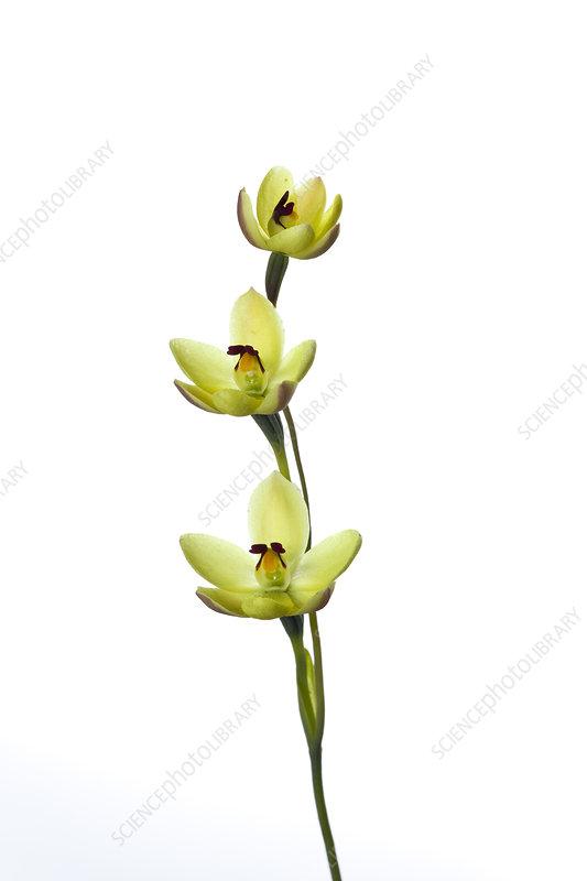 Rabbit ears orchid (Thelymitra antennifera)