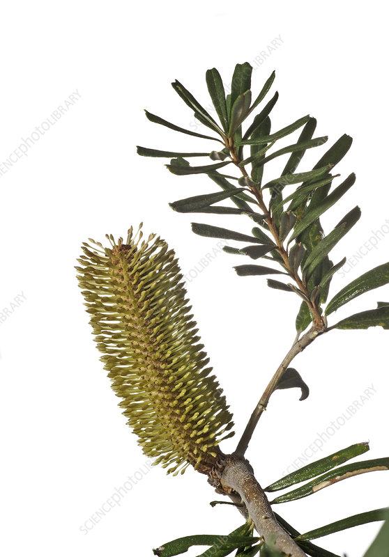 Silver Banksia (Banksia marginata) flower