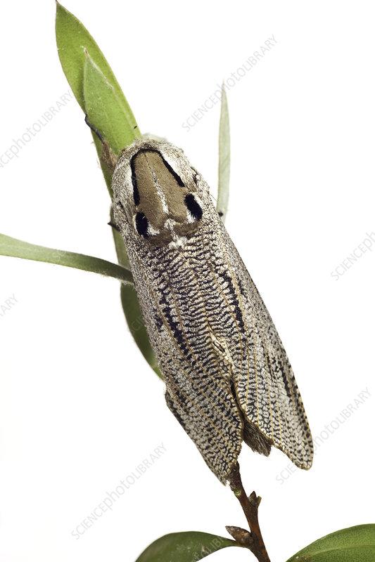 Wood moth from garden, Stawell, Victoria, Australia