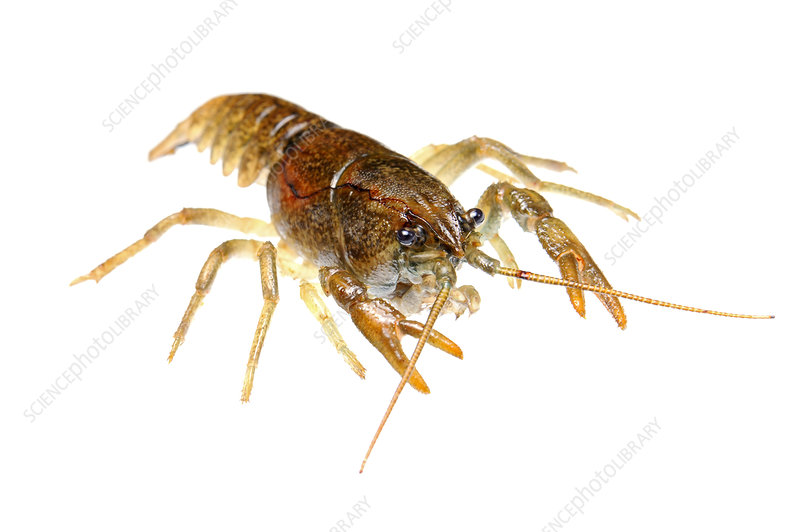 Stone crayfish female displaying