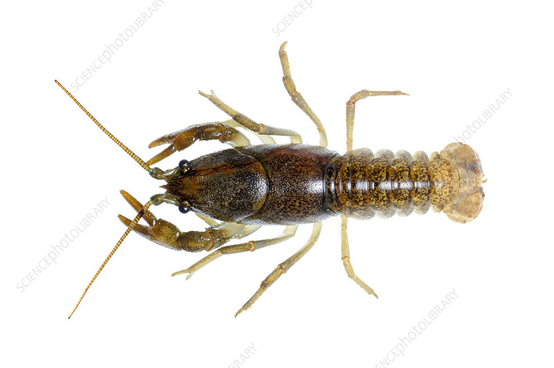 Stone crayfish female displaying