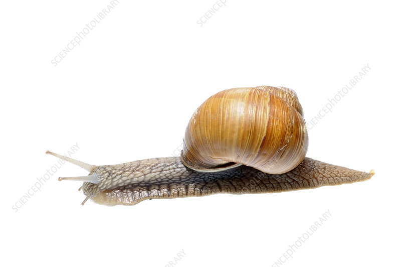 Edible snail with foot extended