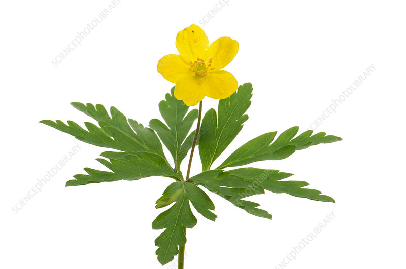 Yellow wood anemone (Anemone ranunculoides) in flower