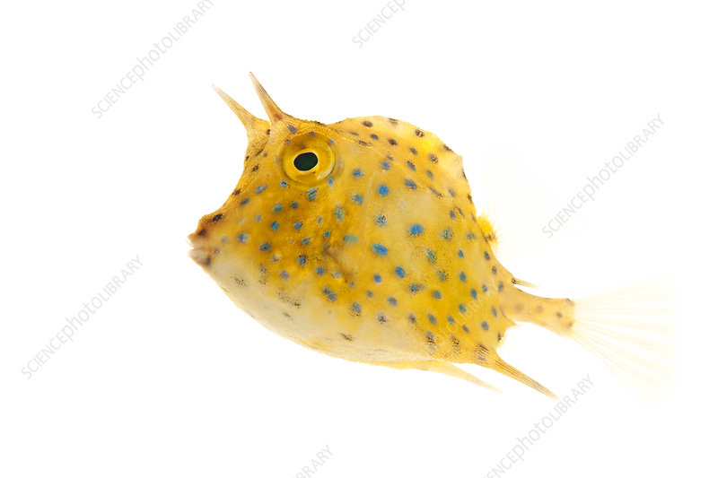 Scrawled Cowfish juvenile